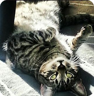 Domestic Shorthair Cat for adoption in Acushnet, Massachusetts - Yuki