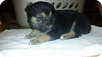 Husky/German Shepherd Dog Mix Puppy for adoption in Coal City, Indiana - 3 pups