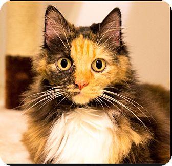 Domestic Longhair Cat for adoption in Seville, Ohio - Shante