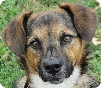 Spaniel (Unknown Type) Mix Dog for adoption in Rockville, Maryland - Baxter