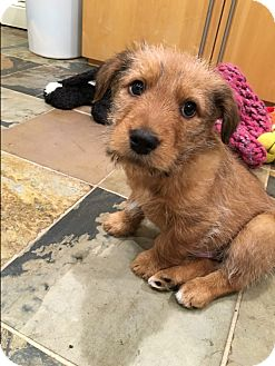 Labrador Retriever/Terrier (Unknown Type, Medium) Mix Puppy for adoption in Hainesville, Illinois - Brewster