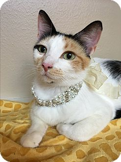 Calico Cat for adoption in Houston, Texas - Shania