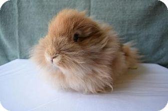 Lionhead Mix for adoption in Fountain Valley, California - Daffodil