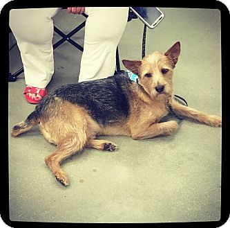 Yorkie, Yorkshire Terrier/Fox Terrier (Wirehaired) Mix Dog for adoption in Grand Bay, Alabama - Albert