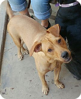 Labrador Retriever/Terrier (Unknown Type, Medium) Mix Dog for adoption in Houston, Texas - Nacho Charlie