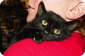 Domestic Shorthair Kitten for adoption in Lowell, Massachusetts - Linden