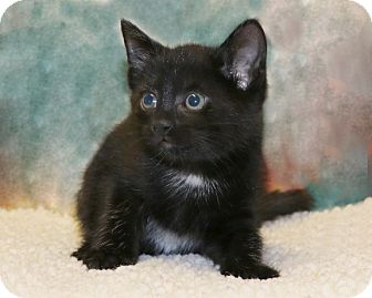 American Shorthair Kitten for adoption in Rochester, New York - Leo