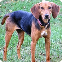 Foxhound Mix Dog for adoption in Rowayton, Connecticut - Clara Beautiful Fox Houndy Girl Perfect 26 Pounds