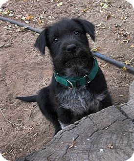 Terrier (Unknown Type, Small) Mix Puppy for adoption in Vista, California - Black Jack