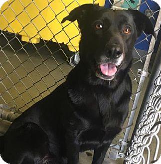 Labrador Retriever Mix Dog for adoption in Vancouver, British Columbia - Jazz