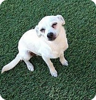 Terrier (Unknown Type, Small) Mix Puppy for adoption in San Diego, California - Gilbert