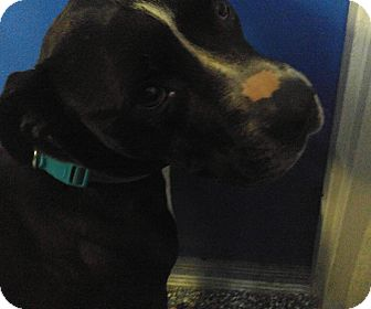 American Pit Bull Terrier/American Staffordshire Terrier Mix Dog for adoption in Hazel Park, Michigan - Remmy