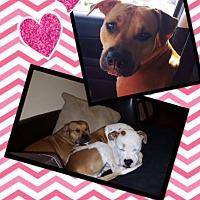 Pit Bull Terrier Mix Dog for adoption in Scottsdale, Arizona - Sassy