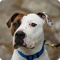 Adopt A Pet :: Cesar - Reisterstown, MD