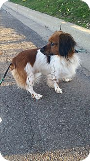 Dachshund/Cavalier King Charles Spaniel Mix Dog for adoption in New Hampton, New York - Patches