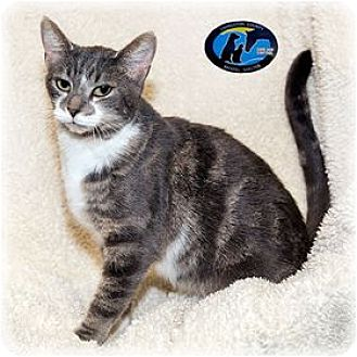 Domestic Shorthair Cat for adoption in Howell, Michigan - Bubbles