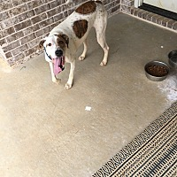 Treeing Walker Coonhound/American Bulldog Mix Dog for adoption in Taylor, Mississippi - Swayze