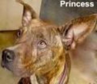 American Pit Bull Terrier Mix Dog for adoption in Tahlequah, Oklahoma - Princess