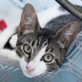 Domestic Shorthair/Domestic Shorthair Mix Cat for adoption in Hattiesburg, Mississippi - Waynoka