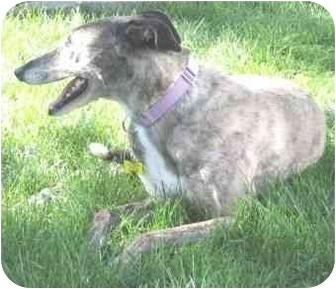 Greyhound Mix Dog for adoption in Wayne, Michigan - Lorie