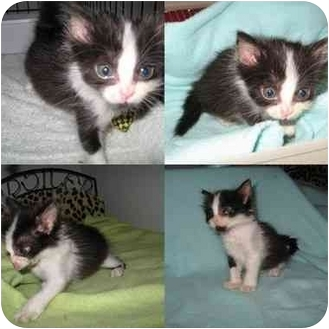 Domestic Mediumhair Kitten for adoption in AUSTIN, Texas - Zoey
