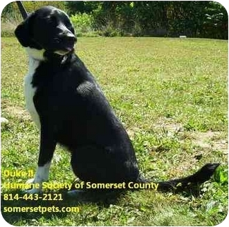 Labrador Retriever Mix Dog for adoption in Somerset, Pennsylvania - Duke II