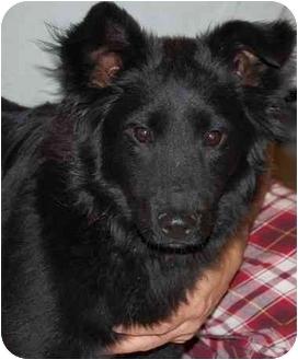 Sheltie, Shetland Sheepdog/Border Collie Mix Puppy for adoption in Raritan, New Jersey - Molly
