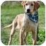 Photo 3 - Labrador Retriever/Golden Retriever Mix Puppy for adoption in Portsmouth, Rhode Island - Catch