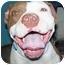 Photo 4 - Pit Bull Terrier Dog for adoption in YERINGTON, Nevada - SWEET VIOLET