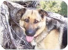 German Shepherd Dog Mix Dog for adoption in Ste-Agathe des Monts, Quebec - Nikie