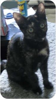 Calico Cat for adoption in Tampa, Florida - Yuko