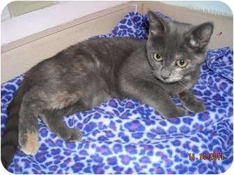 Domestic Longhair Cat for adoption in Corpus Christi, Texas - Flopsy
