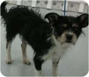 Terrier (Unknown Type, Small) Mix Dog for adoption in Reno, Nevada - Phil