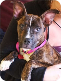 American Pit Bull Terrier Mix Puppy for adoption in Philadelphia, Pennsylvania - Bailey