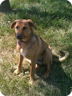 Australian Shepherd/Labrador Retriever Mix Puppy for adoption in Cincinnati, Ohio - Stella