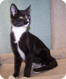 Domestic Shorthair Kitten for adoption in Colorado Springs, Colorado - K-Dave4-Monkey