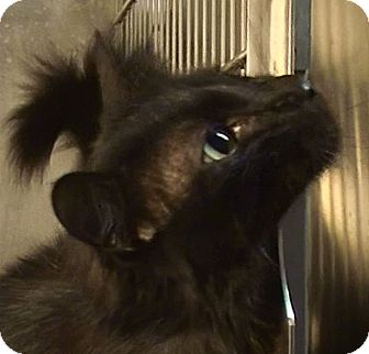 Domestic Longhair Cat for adoption in El Cajon, California - Jimmy