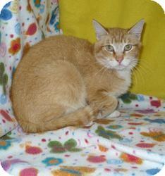 Domestic Shorthair Cat for adoption in Pueblo West, Colorado - Jackson