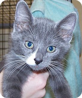 Domestic Shorthair Kitten for adoption in Grants Pass, Oregon - Lewis