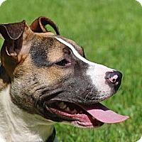 Adopt A Pet :: Sugar Magnolia - Reisterstown, MD