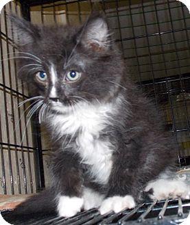 Domestic Mediumhair Kitten for adoption in St. Pauls, North Carolina - Cammie