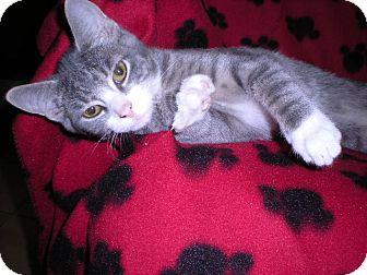 Domestic Shorthair Kitten for adoption in New Castle, Pennsylvania - Pumpkin