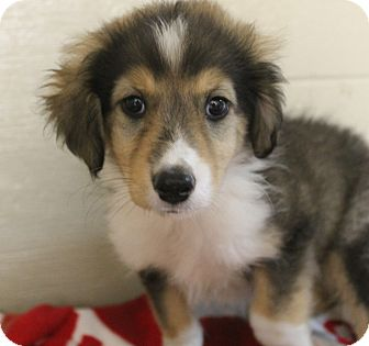 Collie Mix Puppy for adoption in Mt Sterling, Kentucky - Page