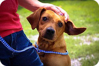 Feist/Beagle Mix Dog for adoption in Farmington, Michigan - Cowboy: Likes kids!