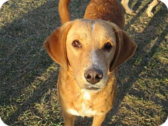 Labrador Retriever Mix Dog for adoption in Liberty Center, Ohio - Charleze