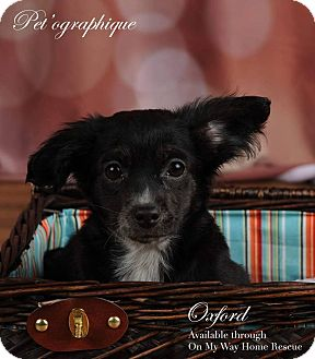 Terrier (Unknown Type, Small)/Cattle Dog Mix Puppy for adoption in Henderson, Nevada - Oxford