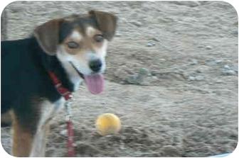 Beagle Mix Dog for adoption in Thatcher, Arizona - Molly Beagle