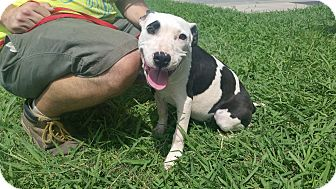 American Pit Bull Terrier Mix Puppy for adoption in Norman, Oklahoma - Mia *Adoption Pending*