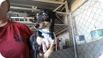 Chihuahua Puppy for adoption in Lubbock, Texas - CHIMI