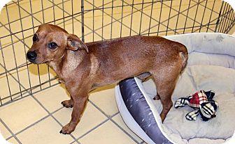 Feist/Carolina Dog Mix Dog for adoption in Lumberton, North Carolina - Fred